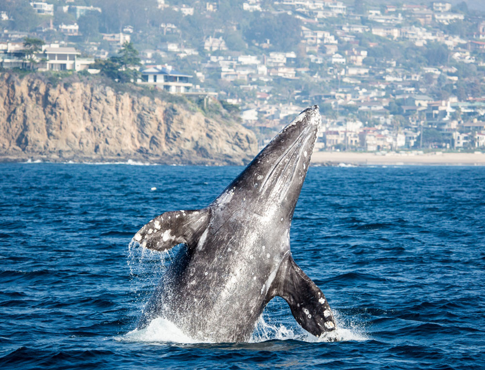 Right Whale Breeching the Surface off the Coast of San Diego California