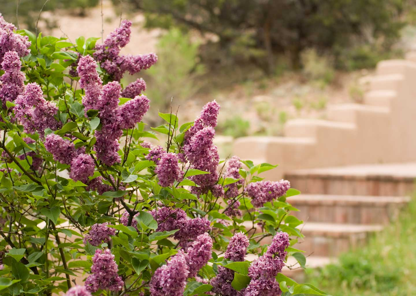 Bush of Purples Flowers on the Grounds of Fort Marcy Hotel Suites in Santa Fe, New Mexico
