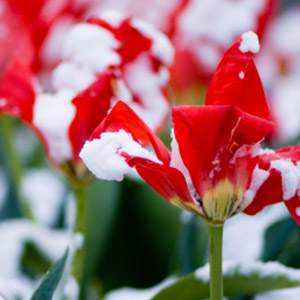 Red Flower in the Snow