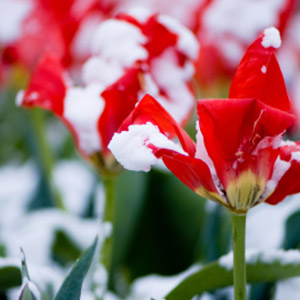 Red Flowers with Snow