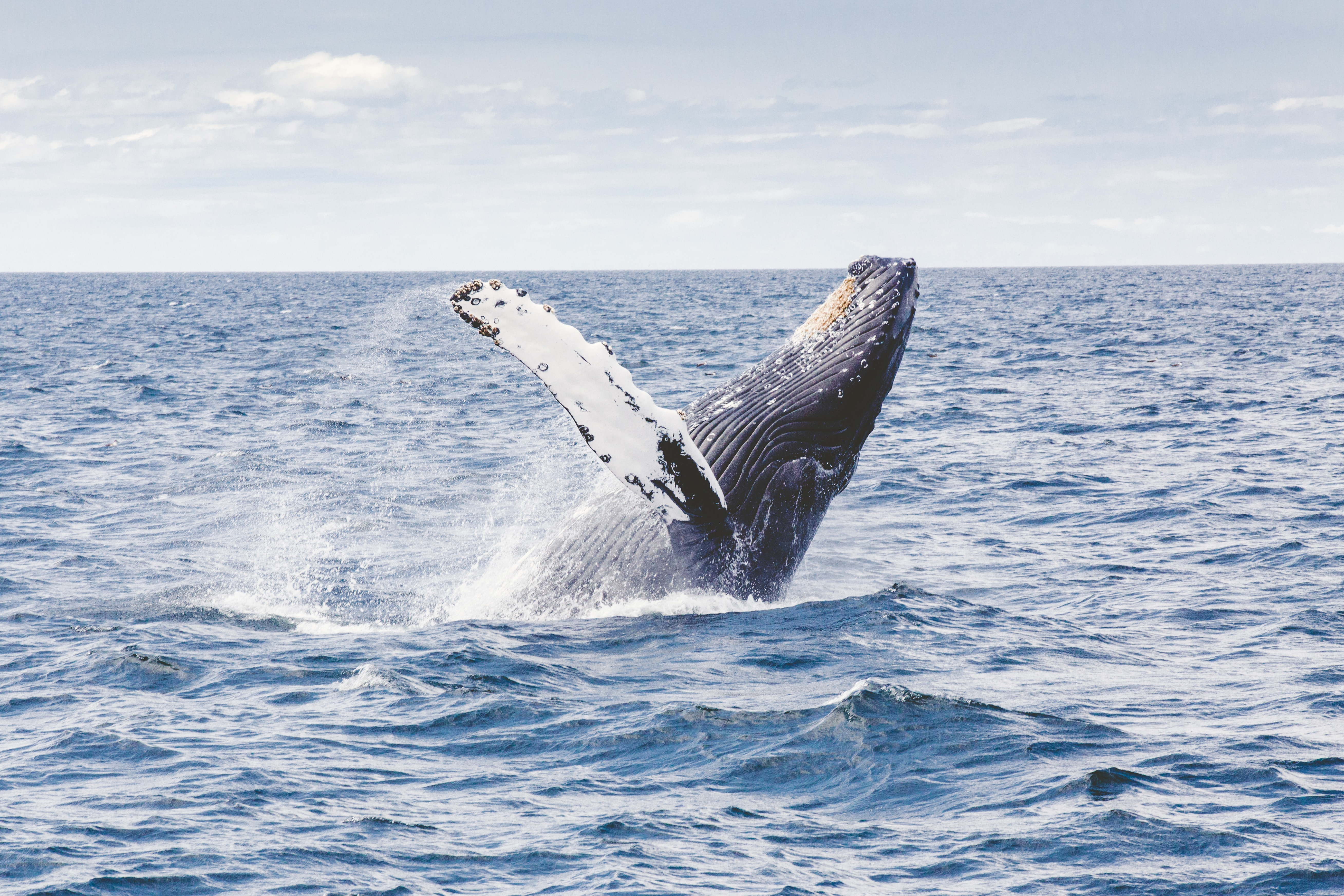 Grey Whale Breaching the Surface of the Ocean