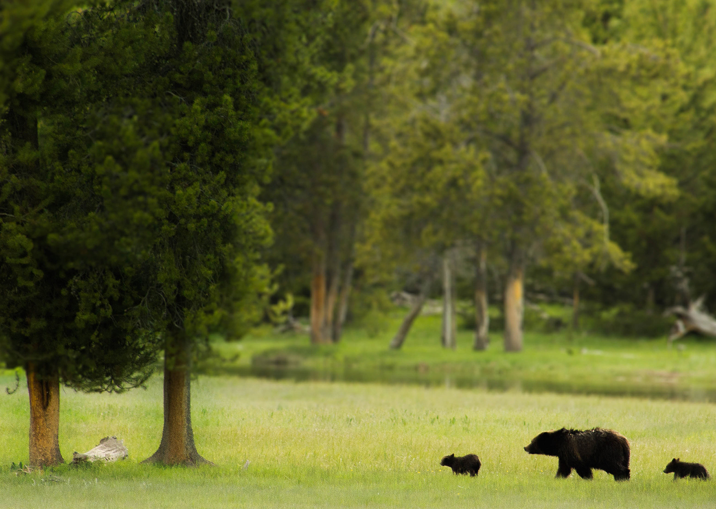 Black Bear and cubs cross a green meadow
