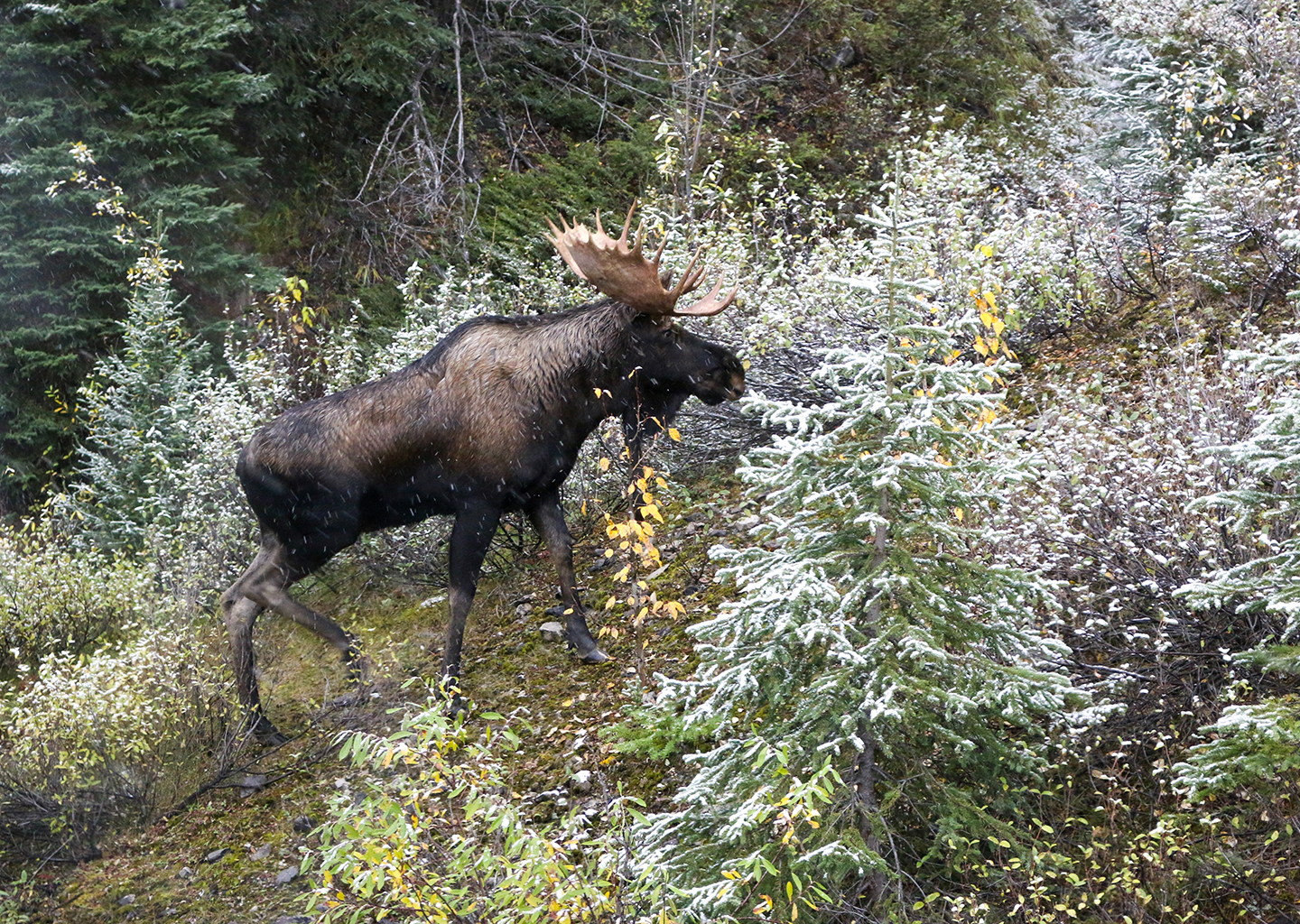bull moose hiking up utah mountain side with wild flowers