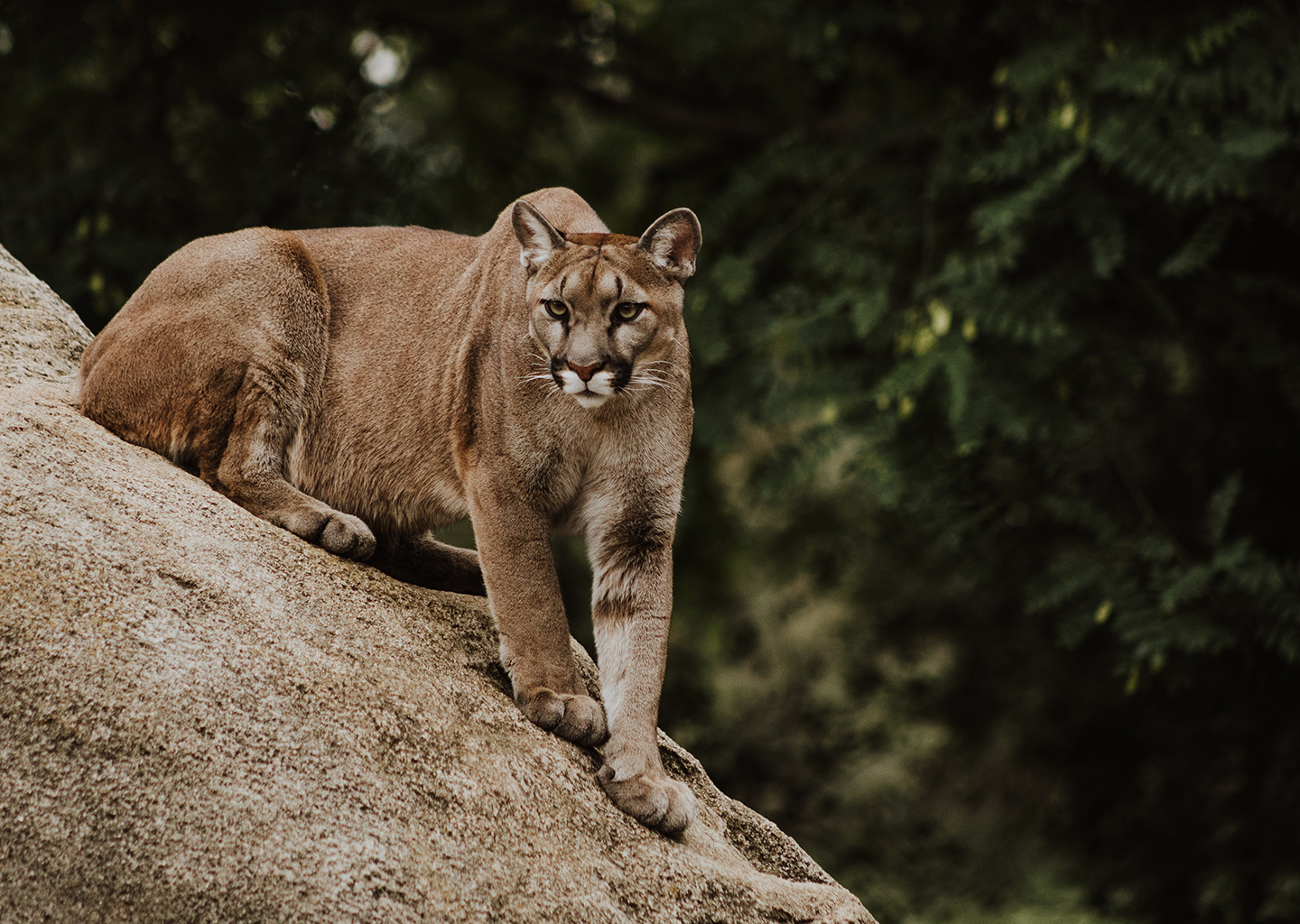 mountain lion crouching against rocka