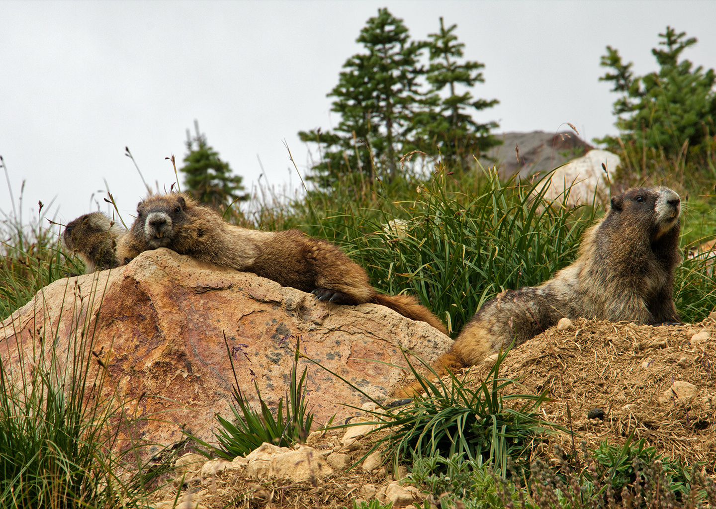 group of marmots perched atop rocks in the mountains