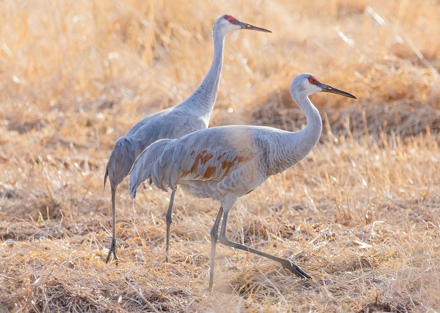 two sandhill cranes walk in a low marshland